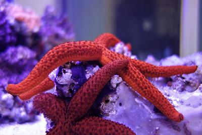 stelle di mare acquario